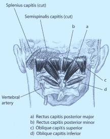 Posterior neck (deepest layer)